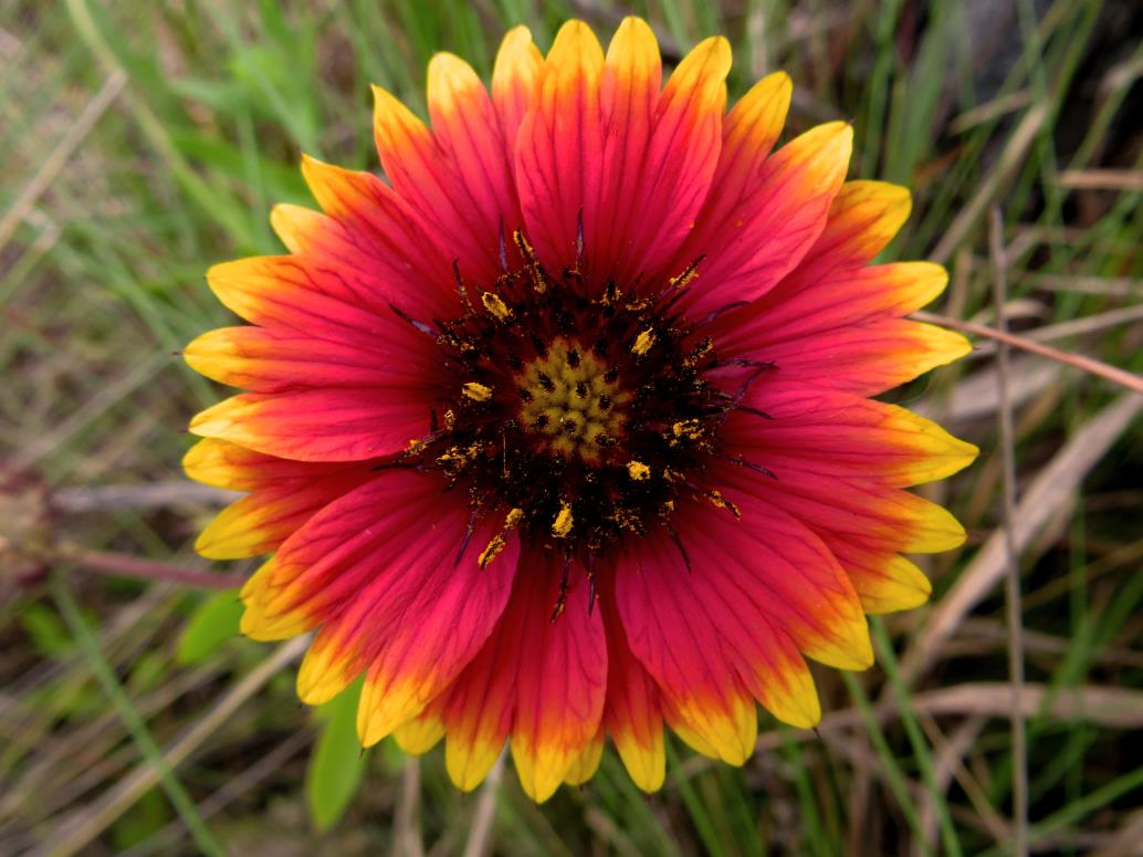 Blanket_Flower_MM_2014