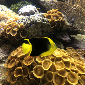 Aquarium Yellow Angelfish