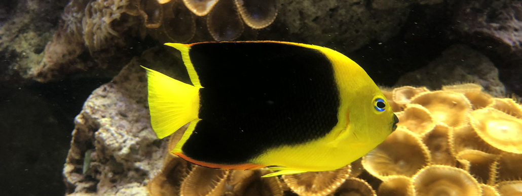 Yellow Angelfish inside the Coral Reef Exhibit
