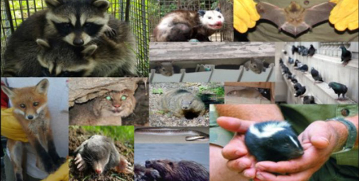 wildlife collage - raccoon, bobcat, bat, skunk, opossum
